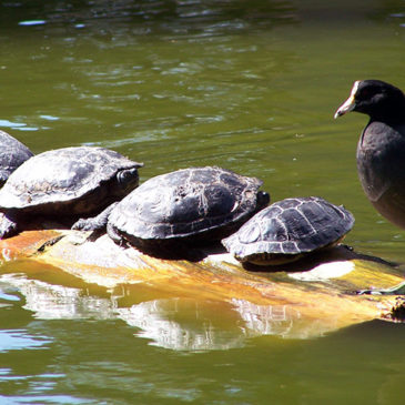 Four turtles and a Moorhen